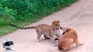 Леопард в Деле / Леопард против Собаки, Птицы, Обезьяны