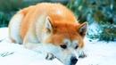 Собаку привязали к дереву в лесу и уехали А она с грустью лежала под деревом и ждала