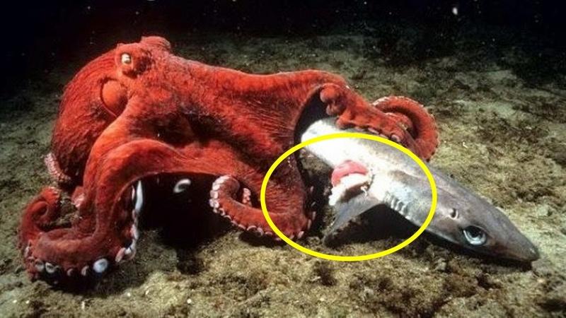 Осьминог в деле! Версус осьминог против Мурены Осминог напал на Акулу! Охота на крабов.