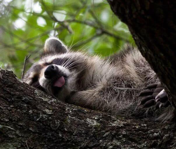 красивейшие завораживающие уставший енот картинки доты