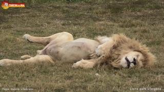 Мужики спят под песни девчат 😃😴 Львы. Тайган. Lions life in Taigan.