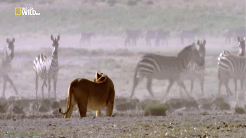 Бойцовский клуб для животных 29 Настоящий зверь Познавательный природа 2016