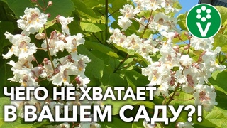 КАТАЛЬПА — ВСЕ, ЧТО ВЫ ХОТЕЛИ ЗНАТЬ О ВЫРАЩИВАНИИ! Редкое и прекрасное дерево для вашего сада!