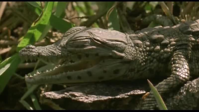 BBC. Ребятам о зверятах. Крокодил.