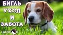 Порода собак бигль уход и забота.Бигль собака характер, описание породы!Порода Бигль характер