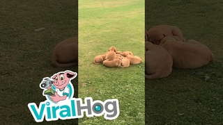 🐶 Массовые обнимашки устроили щенки лабрадора в ан...