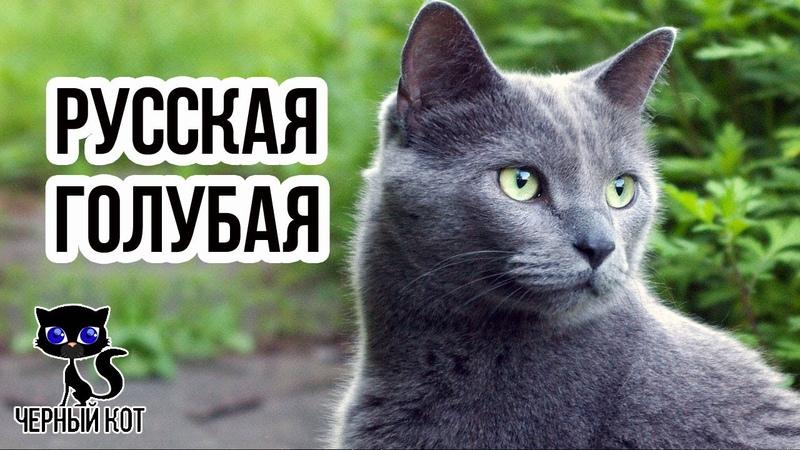 ✔ Русская голубая кошка короткошерстная порода голубого окраса с зелеными глазами