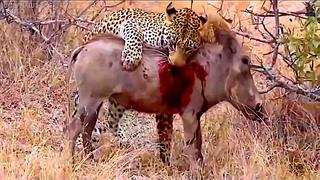 Про кабана | Дикая природа |  Дикие животные | Дикий кабан | Леопард в деле | Дикая свинья.