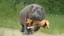 Не на Того Напал! Беспощадные Битвы Животных Снятые на Камеру