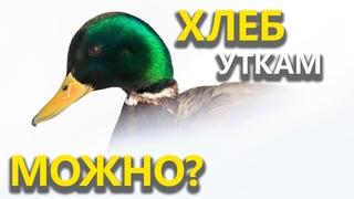 Чем вреден хлеб для уток? / Нужно ли подкармливать водоплавающих птиц?