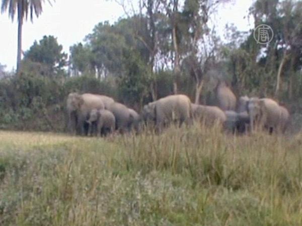 Дикие слоны убили 10 человек в Индии новости