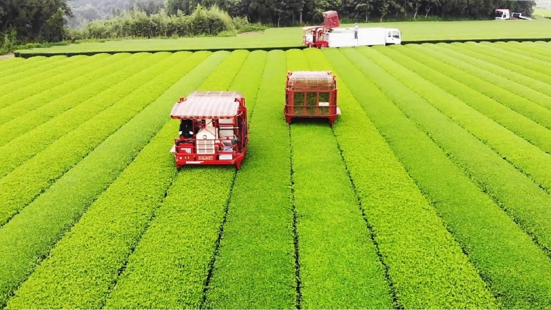Japanese Green Tea Cultivation Green Tea Farm Green Tea Harvest and Processing