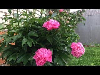 Какие цветы посадить рядом с  пионами, чтоб клумба долго радовала глаз