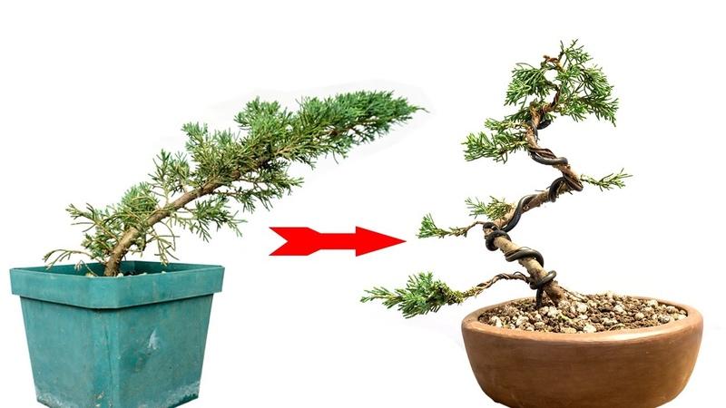 Del vivero a bonsai ¿Que hago Nº 12 Un Humilde Junipero