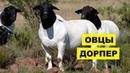 Разведение овец дорперов как бизнес идея | Овцеводство | Овцы дорпер