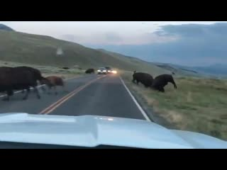 Осторожно - дикие бизоны! Страсти в Йеллоустонском национальном парке, США