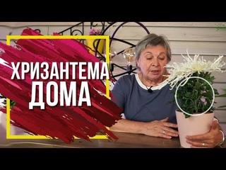 Уход За Хризантемой Дома ✔️ Пышное Цветение в Домашних Условий