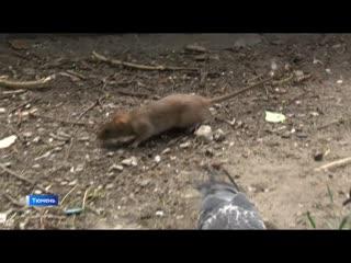 Подкормка голубей вызвала нашествие крыс в одном из тюменских дворов