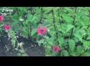 Бабочка Языкан-русский колибри))