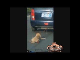 Пса привязали к машине