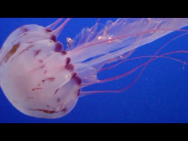 Purple Striped Jelly SlowMix Chrysaora Colorata Monterey Bay Aquarium Monterey California USA