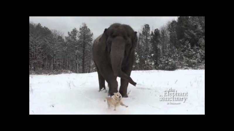 The Elephant Sanctuary | Tarra and Bella in the Snow