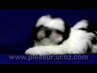 Кобель Shih Tzu 2.5 mounth - Pleasure of Life
