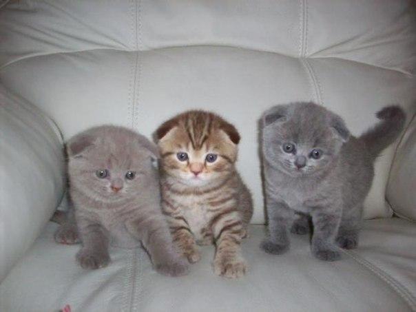 нужно степень вислоухости у шотландских котят фото часто вас