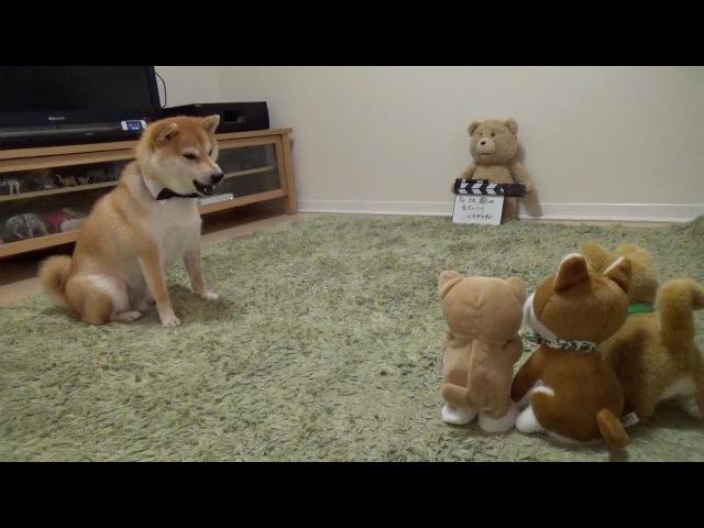 柴犬だいふく VS 動く柴犬おもちゃ〜強い子どっち!?〜 Shibainu Daifuku plays wiz dog's toy