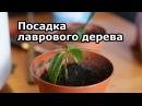 Лавр благородный как посадить размножать и ухаживать дома за лавровым деревом