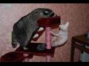 Енот воспитывает кошку) Енот полоскун и сфинкс.