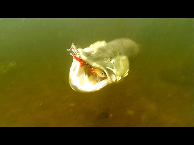 Big pike attack Tommy. Fishing w lures trout softbaits. Рыбалка щука атакует силиконовую форель