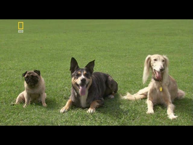 У каких собак лучшее зрение? Веселая наука.серия 7 (Документальные фильмы National Geographic)