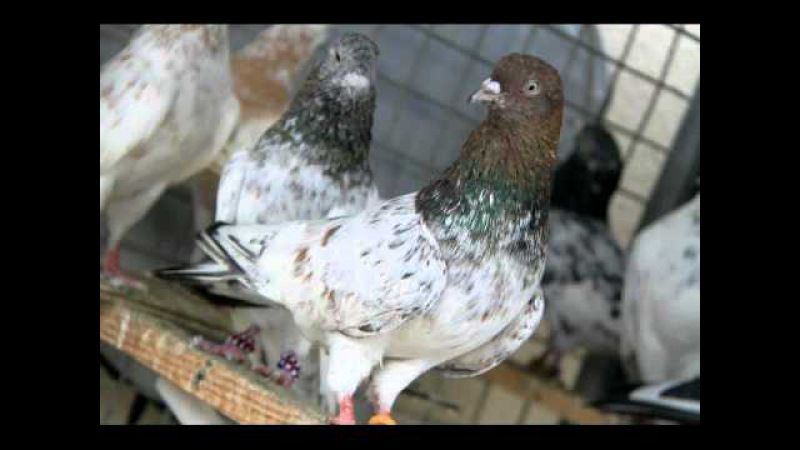 Pakistani indain high fly pigeons kabootar