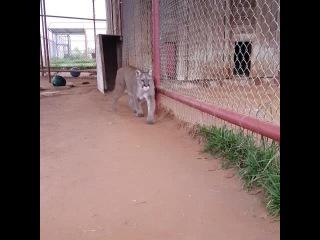 😺😽💖🚜🚁🎶 #cassie #cougar