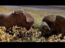 Бои животных. Овцебыки