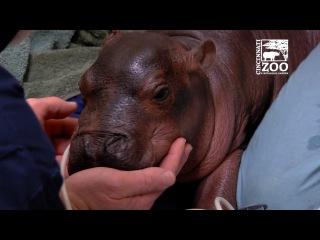 Premature Baby Hippo Getting Care from Cincinnati Zoo Vets