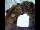 700-килограммовые бурые медведи Аляски
