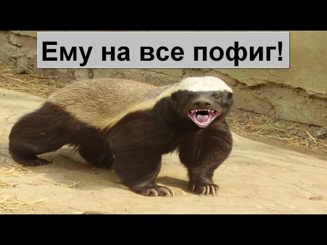 Версус! Медоед самое агрессивное и бесстрашное животное в мире!