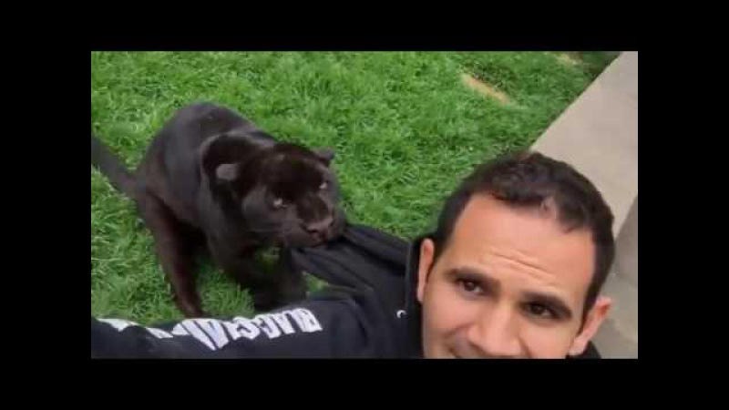 When a Jaguar stalks Jaguarito acechando BabyKalELBJWT SaveJaguars SaveOur