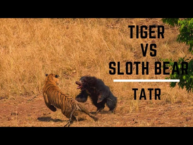 Tiger and Sloth bear fight very rare tadoba andheri tiger reserve смотреть онлайн без регистрации