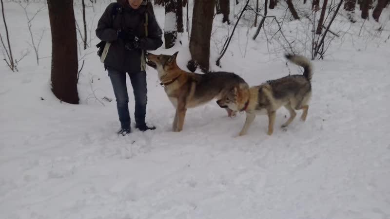 Самый лучший пес! Я, Фантастическая Далиша и влчак Сережа (Грей). 1-я серия.
