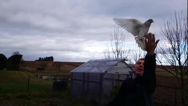 Oyun kuşu güvercin super takla agır cekim