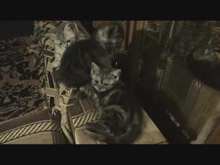 Продаем шотландских прямоухих котят казань.