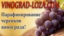 Парафинирование черенков винограда Готовим парафин для чубуков и прививок
