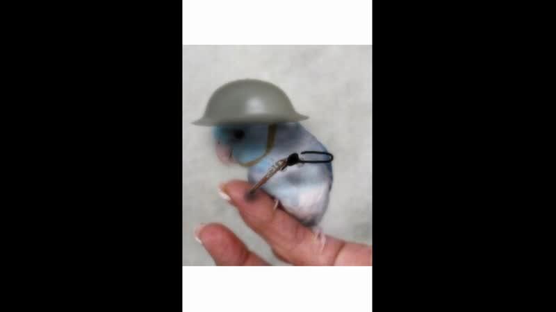 Папугай чик с оружием