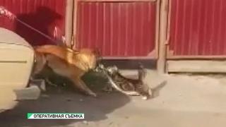 Наглая кошка набросилась на служебного пса в Бийске (Будни, г., Бийское телевидение)