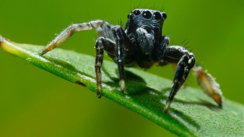 It's Mate or Die for this jumping spider Seven Worlds One Planet BBC Earth