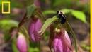 Le sabot de la vierge hypnotise les abeilles butineuses