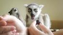Малыши лемуры - нежнейшие создания! Тайган. Little lemurs are the most tender creatures! Taigan.